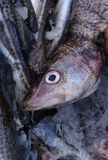 Fresh saltwater fish. Royalty Free Stock Photos