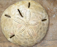 Fresh Sand Dollar Royalty Free Stock Images