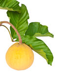 Fresh Santol on a branch of it's tree Royalty Free Stock Photo
