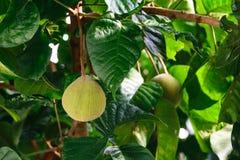 Fresh santol Sandoricum koetjape tropical fruit on the tree in garden. royalty free stock photos