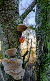 Fresh sap seen congealed on a tree trunk together with fungi on a forest tree. This unusual sighting of free sap is seen together with a family of fungi located stock photo