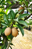 Fresh sapodilla on the tree Royalty Free Stock Images