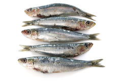 Fresh sardine Stock Photography