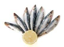 Fresh sardine. In front of white background Stock Photos