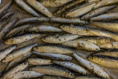 Fresh sardine seafood Royalty Free Stock Photography