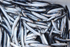 Fresh Sardines Royalty Free Stock Photo