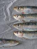 Fresh sardines on greaseproof, baking kitchen paper. Stock Image