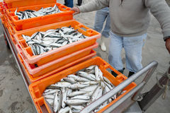 Free Fresh Sardines In Orange  Box Stock Photos - 20240543