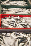 Fresh sardines, mackarels catch in a box Royalty Free Stock Photo
