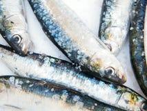 Fresh sardines. On the market Royalty Free Stock Image