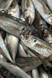 Fresh sardines Royalty Free Stock Images