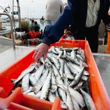 Fresh sardines in orange  box Royalty Free Stock Photos