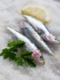 Fresh sardines over salt Royalty Free Stock Photography