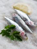 Fresh sardines over salt Royalty Free Stock Photography