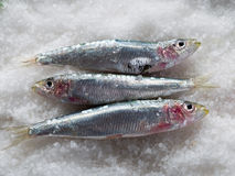 Fresh sardines over salt Royalty Free Stock Image