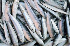 Fresh sardines. Fresh raw sardines in close up Stock Photos