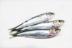Fresh sardines Royalty Free Stock Photography