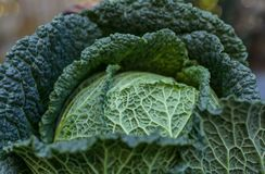 Fresh savoy cabbage close up  on daylight outside. Winter season Vegetables Royalty Free Stock Images