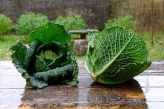 Fresh savoy cabbage Royalty Free Stock Images