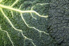Fresh savoy cabbage leaf Stock Photography
