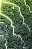 Fresh savoy cabbage leaf Stock Image