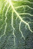 Fresh savoy cabbage leaf Royalty Free Stock Images