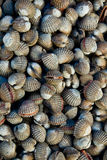 Fresh scallop Royalty Free Stock Photos