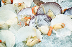 Fresh scallop shell on ice in seafood market Royalty Free Stock Image