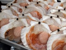 Fresh Scallops. With top shell opened waiting to be cook Royalty Free Stock Photography
