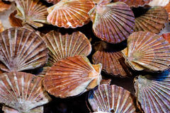 Fresh scallops Stock Photo