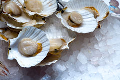 Fresh scallops Stock Photography