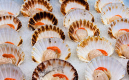 Fresh scallops at fish market Stock Image