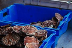 Fresh scallops seafood assortment at the  fish market. Toned Royalty Free Stock Image