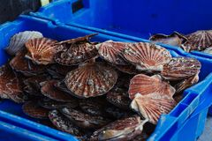 Fresh scallops seafood assortment at the  fish market. Toned Royalty Free Stock Photo