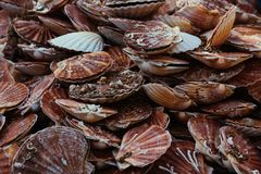 Fresh scallops seafood assortment at the  fish market. Toned Stock Images