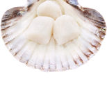 Fresh Scallops in shell ,isolated Stock Photography