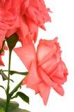 Fresh scarlet roses Stock Photos