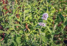 Fresh scented water mint in full bloom Royalty Free Stock Image