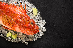 Fresh scorpion fish on ice on a black stone table. Top view Royalty Free Stock Images