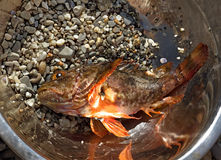 Fresh scorpion-fish (Scorpaenidae) caught in a bowl. Sea food Stock Photos
