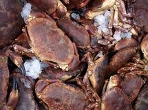Fresh Scottish Brown Crabs Royalty Free Stock Image