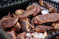 Fresh Scottish Brown Crabs Stock Image