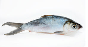 Fresh Sea Bass. Fresh Asian Sea Bass in isolated White Background Royalty Free Stock Images