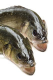 Fresh sea bass Royalty Free Stock Photos