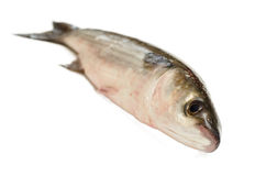 Fresh sea bass Royalty Free Stock Photo