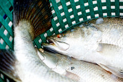 Fresh Sea bass Royalty Free Stock Images