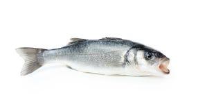 Fresh sea bass fish Stock Image