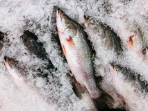 Fresh sea bass fish on cold ice in fresh seafood market top view stock photos