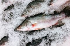 Fresh sea bass fish on cold ice in fresh seafood market top view royalty free stock photography
