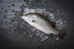 Fresh sea bass fish for cooking Raw seabass on ice ocean gourmeton dark background in the restaurant. Fresh sea bass fish for cooking / Raw seabass on ice ocean royalty free stock photography